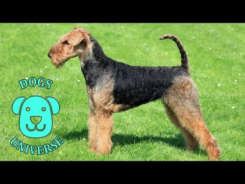 AIREDALE TERRIER ► Characteristics and temperament 🐶