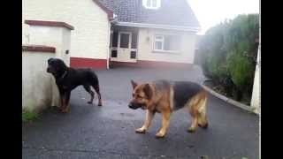 Socialized Rottweiler Vs Rottweiler And German Shepherd After The Fence Part 1