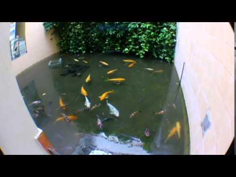 Pesca de tilapias y mojarras en el r o piura doovi for Como hacer un estanque para mojarras