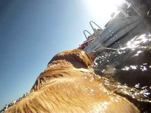 Gopro Golden retriever dog swimming