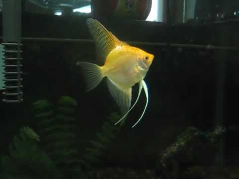 My Favorite Gold Angel Fish