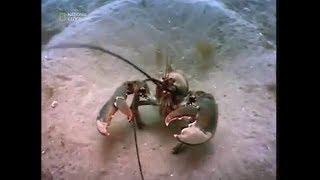 Жизнь омаров на дне залива Мэн. Документальный фильм.