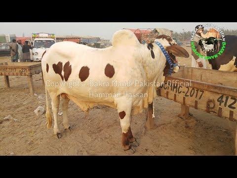 COW MANDI 2018 BUYERS K ASOOL - DOUBLE DEMAND KA KIYA HUL ? Episode 12 - TAKLEEF PHIR KISKO HO GI ? thumbnail