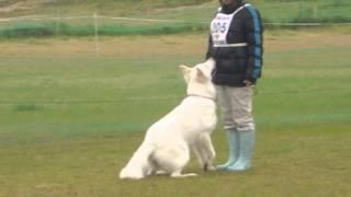 2014年4月13日 ホワイトスイスシェパード☆タキオン☆ PD西日本訓...