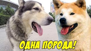 Маламут Майк оказывается Акита ину Хатико | 犬