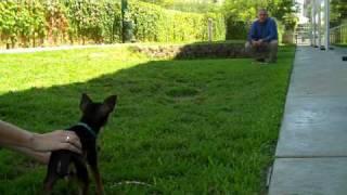 Chihuahua Races Training Tips - Petco Training