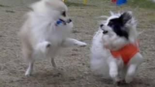 High Speed Movie / Pomeranian 【john】 & Papillon 【papi】 おいかけっこ