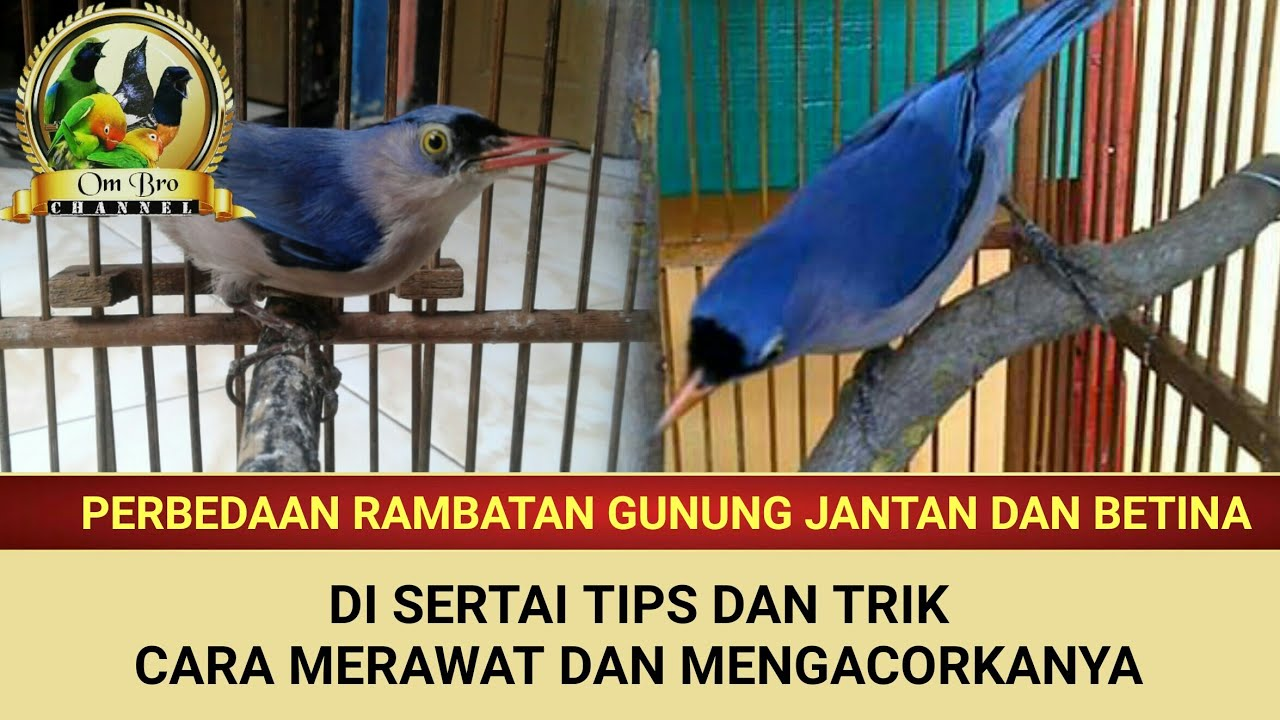 Ciri Burung Cingcoang Biru Jantan Betina By Pawang Burung