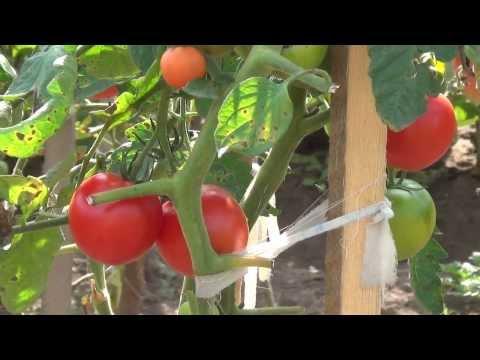Как растут помидоры. Интересная конструкция, причудливые формы. How to grow tomatoes in Siberia