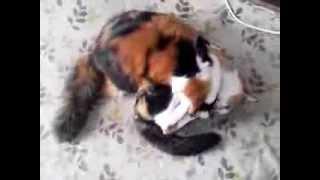 我が家の三毛猫2匹がドタバタ!毛玉が転がってるみたいです。