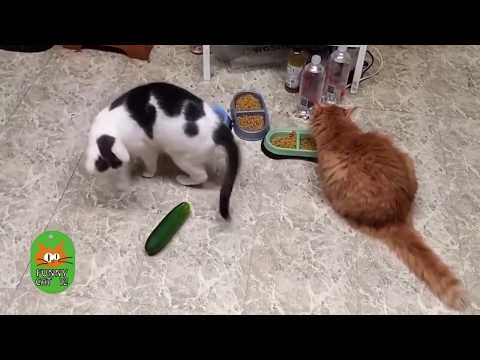 crazy cats scared of cucumbers part II funnycat12