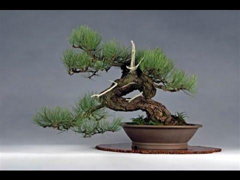 Pinus ponderosa (Ponderosa Pine, Western Yellow Pine)