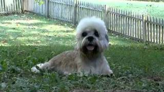Dogs 101  Dandie Dinmont Terrier