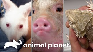¡3 mascotas muy inusuales! | Dr. Jeff, Veterinario | Animal Planet