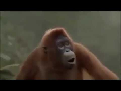 Hoch die Hände Wochenende | tanzender Affe
