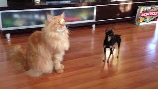 Кошки и собаки.  Разборки.