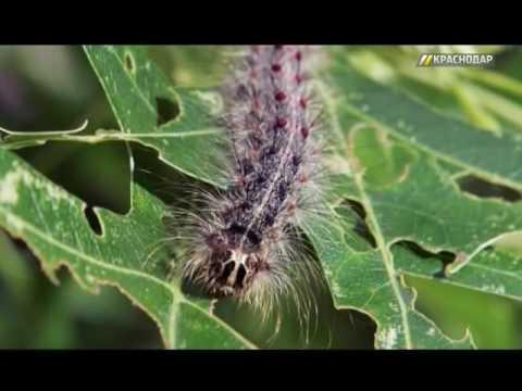 В Краснодарском крае ведут борьбу с развитием американской бабочки
