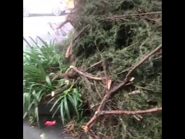 CFE podó árboles pero destruyó jardineras