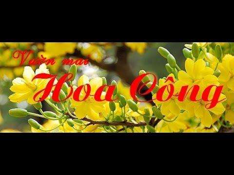Bán Mai Bình Định: Vườn mai Hoa Công. Chuyên cung cấp mai vàng tết sỉ giá rẻ. Liên hệ: 01635240619.