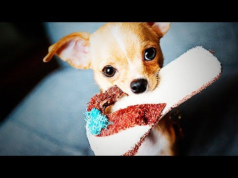 Cute Chihuahuas 😜🐶 Funny Dogs (Full) [Funny Pets]