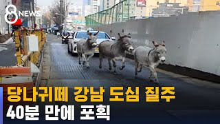 당나귀떼 강남 도심 질주…40분 만에 포획 / SBS