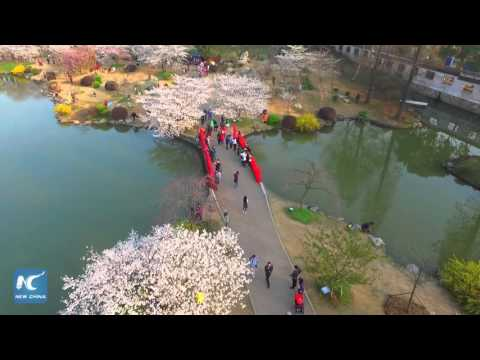 World's largest cherry garden? 10,000 cherries in bloom in Wuhan, China