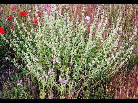 Rabo de gato propiedades plantas medicinales youtube Plantas seguras para gatos