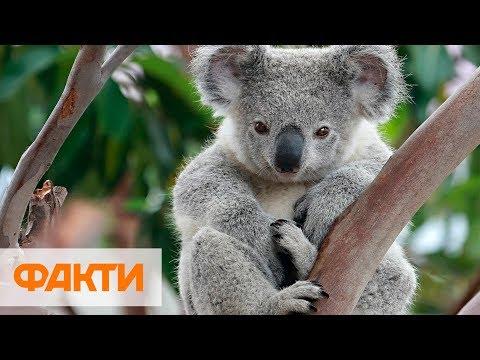 Национальная трагедия в Австралии - в пожаре погибли сотни коал