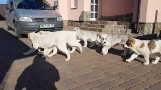 Наши  девочки алабаи щенки и игрушка , щенка можно купить