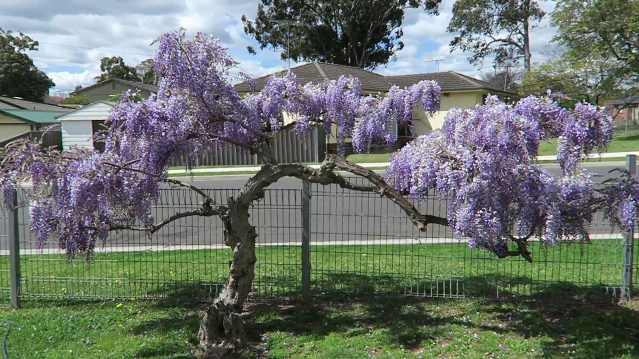 Wisteria Tree Sydney Youtube