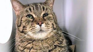 В приют попал кот-дворняжка безумных размеров. Теперь все хотят забрать его себе