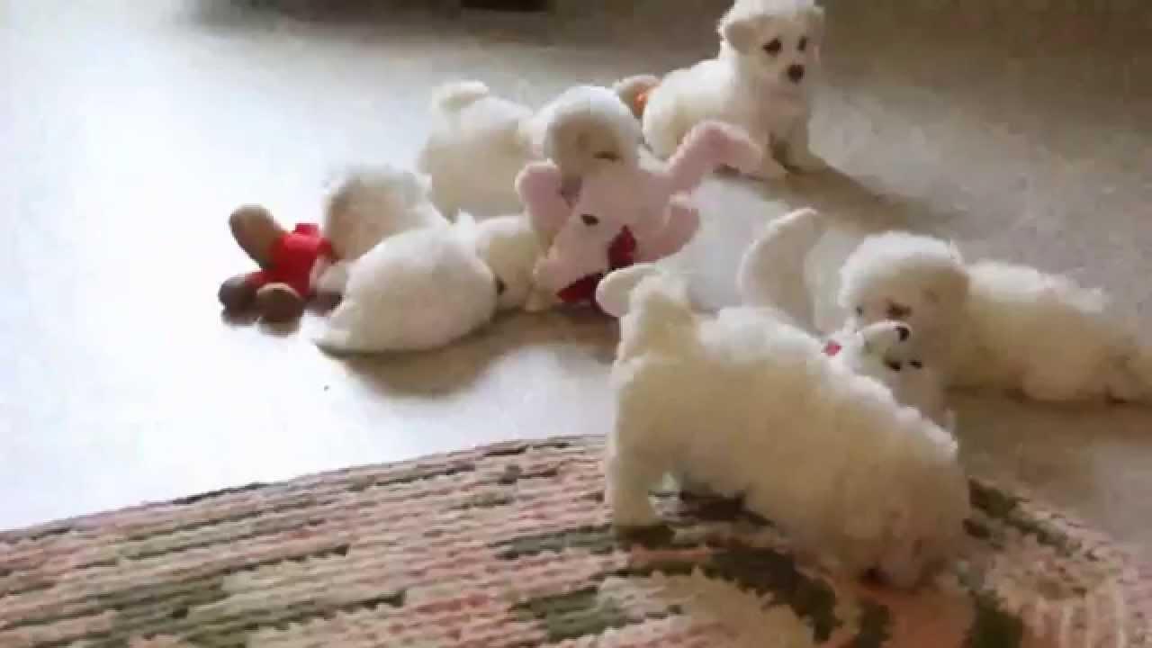 Maltichon Puppies For Sale Youtube