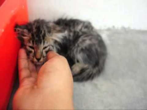 Domestic Long Hair + Tabby Kitten For Adoption - 2 Months,..