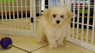 Malti Poo, Puppies, For, Sale, In, Little Rock, Arkansas, Ar, Russellville, Jacksonville, Sherwood,