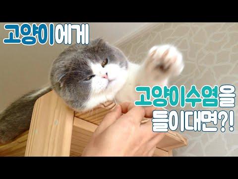 귀여운 스코티쉬폴드 고양이 펀치! Funny Scottish Fold Cat punch