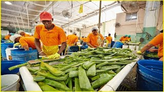 Amazing Agriculture Fruit Harvesting Compilation #15 - Asian Aloe Vera Havest and Processing