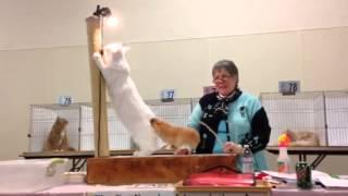 Cae Open show (Kittyhawk Felines, Dayton, Ohio) last ring of the day