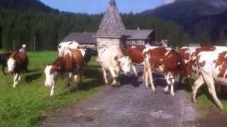 Vaches à Champéry (Valais, Suisse)