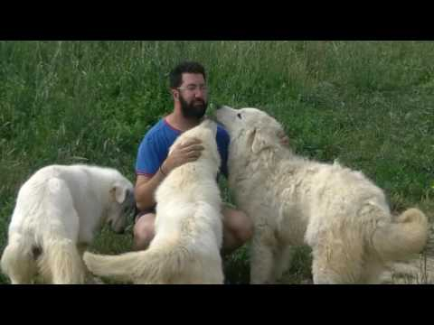 7. Eight guardian-dog principles, Maremma Sheepdog (english version)