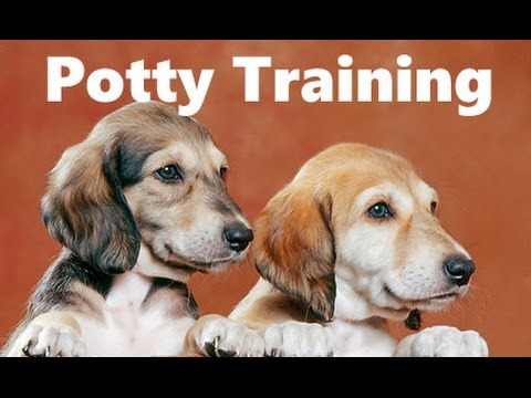 How To Potty Train A Saluki Puppy - Saluki House Training Tips - Housebreaking Saluki Puppies Fast