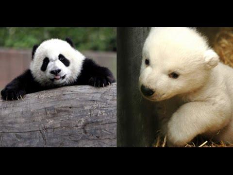 Pandas vs Polar Bears thumbnail