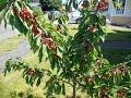 How to prune a Dwarf Cherry Tree?