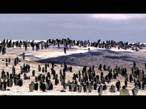 Emperor Penguins - An Ode to Life in Antarctica
