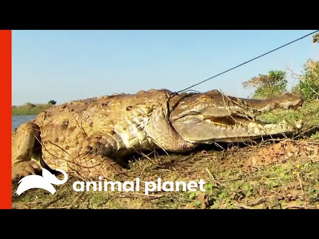 Herpetologists Are Working To Save The Critically Endangered Orinoco Crocodile | Raw Nature