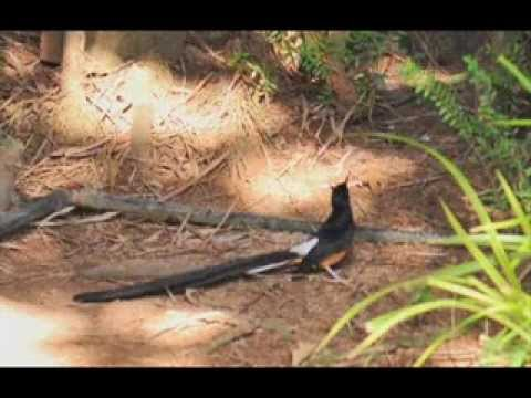 suara masteran murai batu suara burung melatih murai