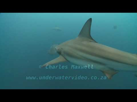 Tiger, Zambezi & Blacktip Sharks Feeding Together Filmed by Charles Maxwell