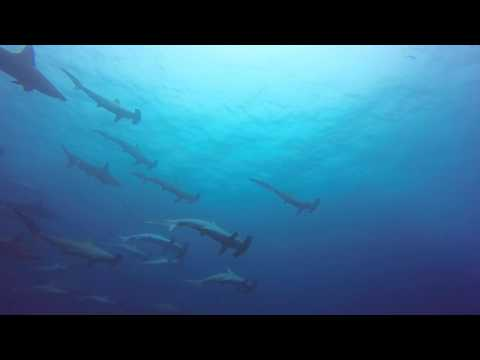 Hammerheads At Fish Rock Cave @ South West Rocks