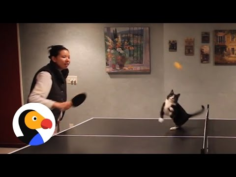 Cat Plays Ping Pong | The Dodo