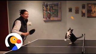 卓球+猫=かわいい(動画)