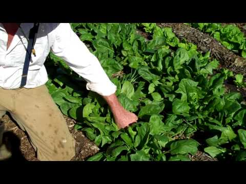 Maui Bees Farm, you pick, organic bio dynamic vegetable garden, picking spinach